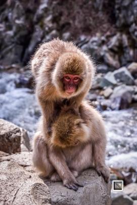 japan-jigokudani-snow_monkeys-37