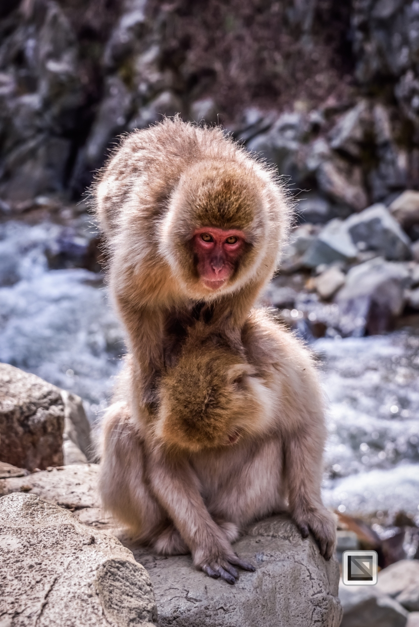 japan-jigokudani-snow_monkeys-37