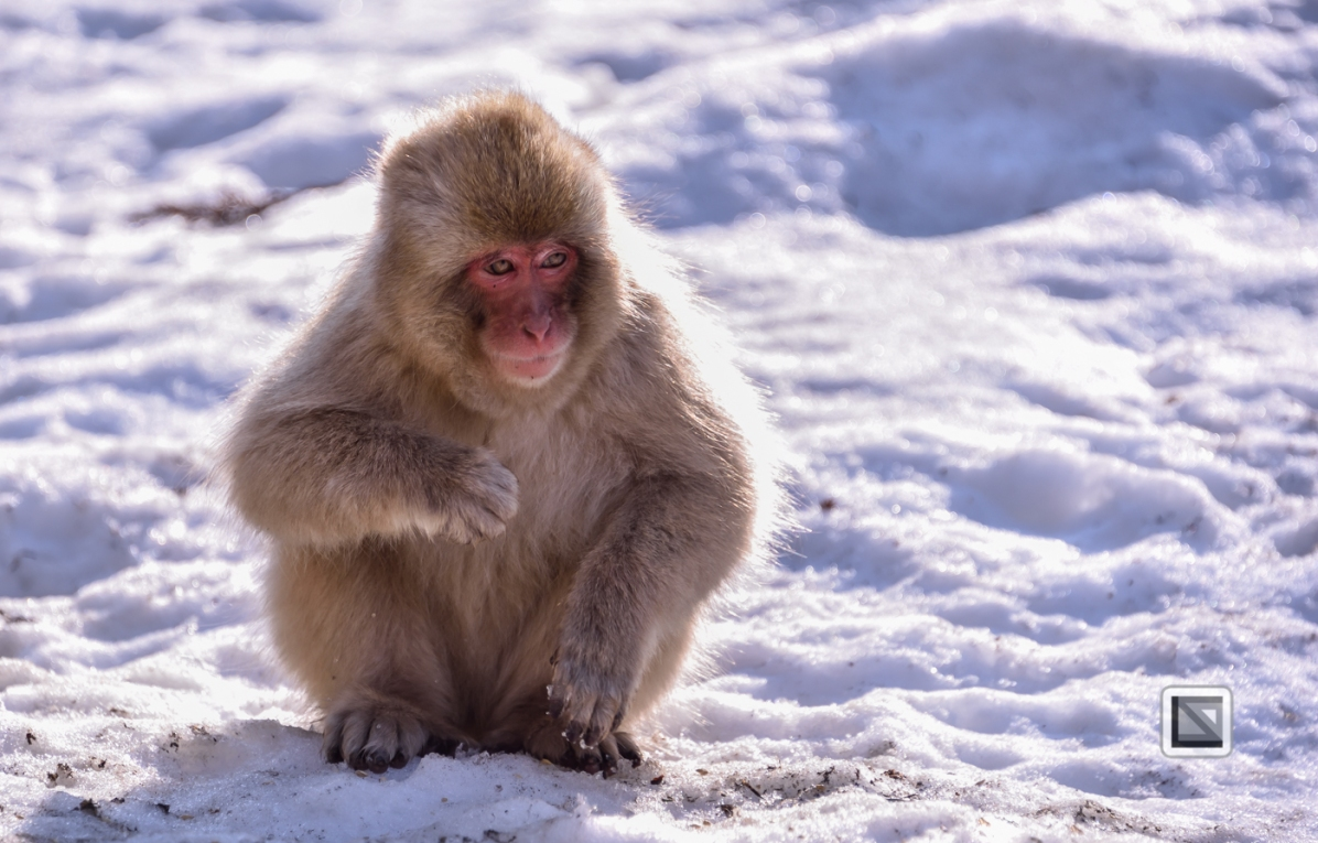 japan-jigokudani-snow_monkeys-4