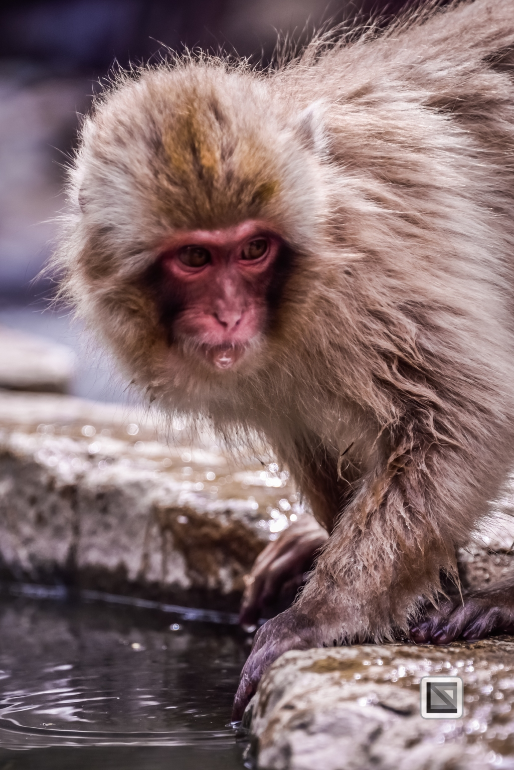 japan-jigokudani-snow_monkeys-42