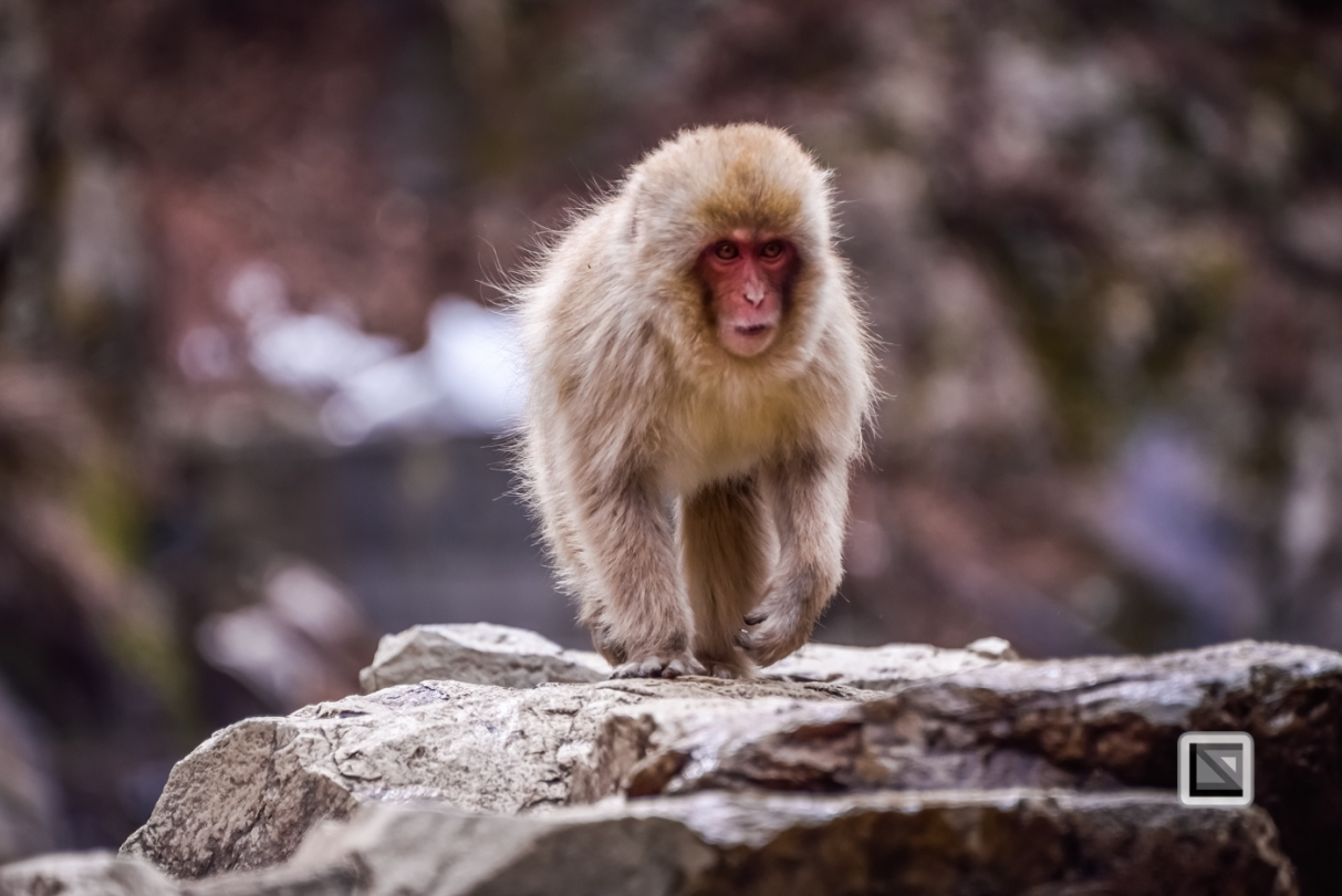 japan-jigokudani-snow_monkeys-49