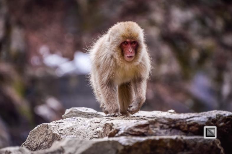 japan-jigokudani-snow_monkeys-49