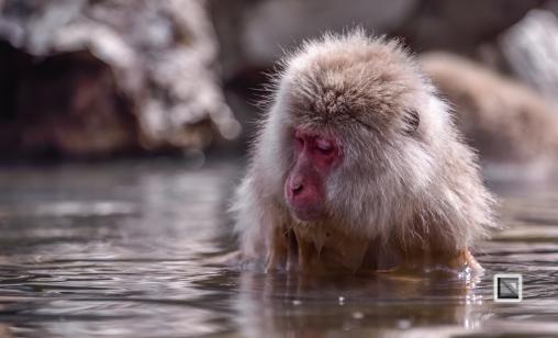 japan-jigokudani-snow_monkeys-54
