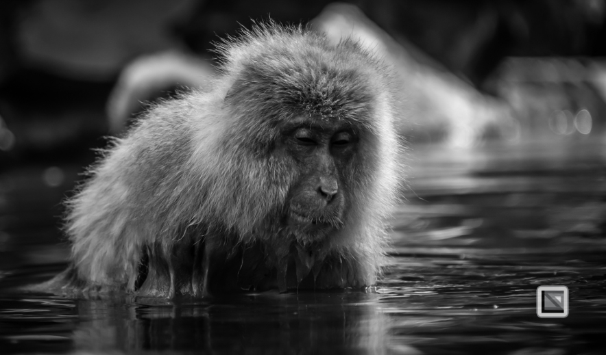 japan-jigokudani-snow_monkeys-55