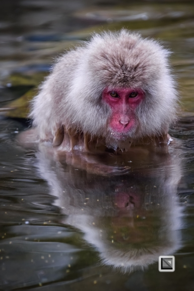 japan-jigokudani-snow_monkeys-57