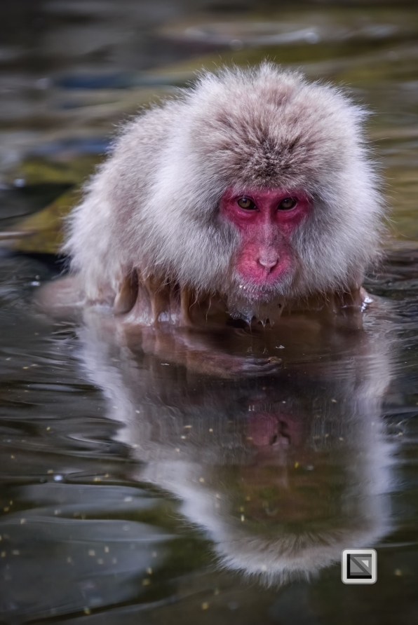 japan-jigokudani-snow_monkeys-57