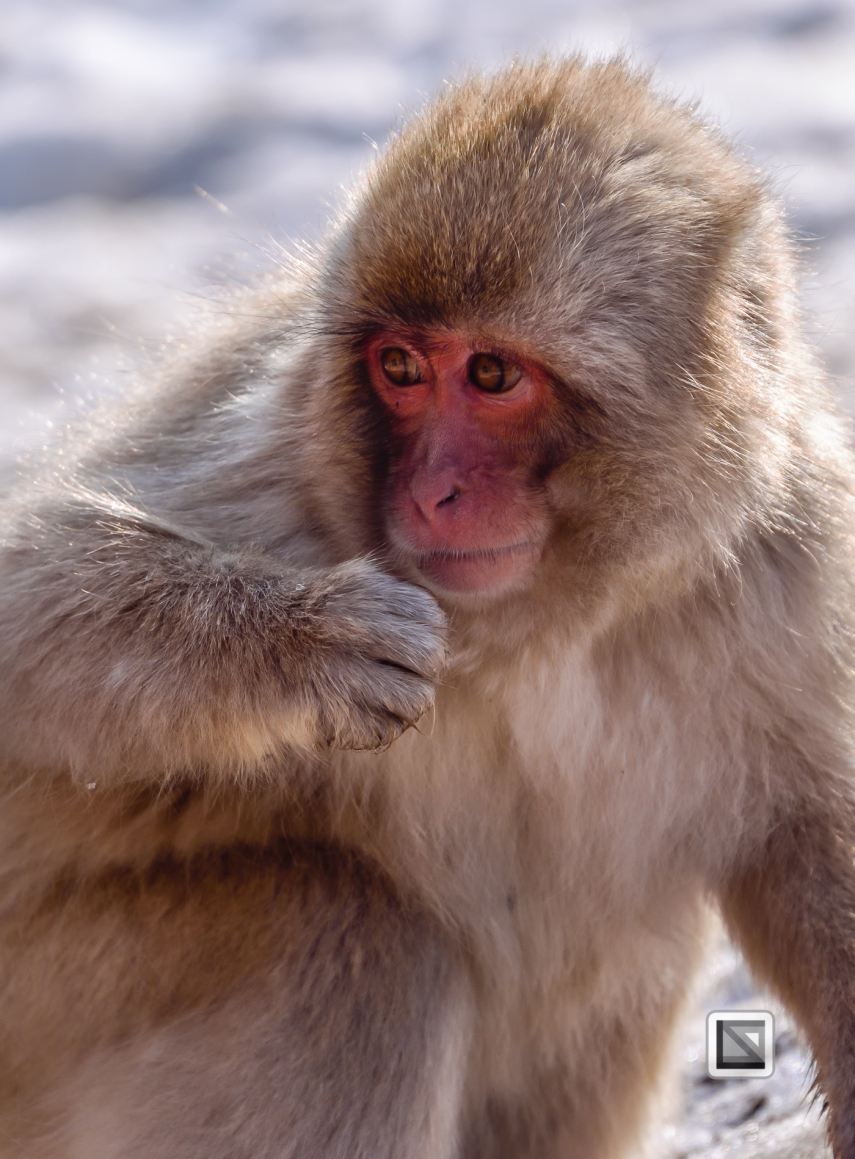 japan-jigokudani-snow_monkeys-6