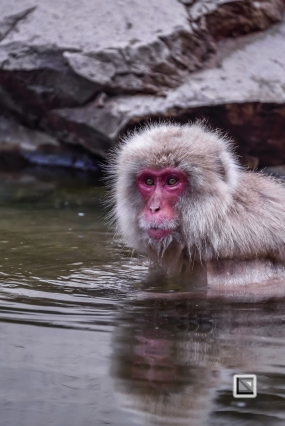 japan-jigokudani-snow_monkeys-70