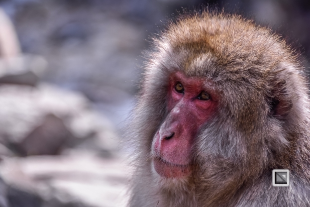 japan-jigokudani-snow_monkeys-72