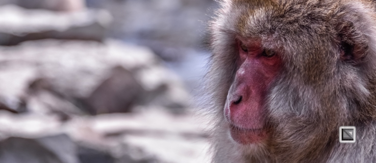 japan-jigokudani-snow_monkeys-73
