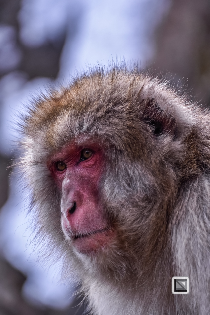 japan-jigokudani-snow_monkeys-76