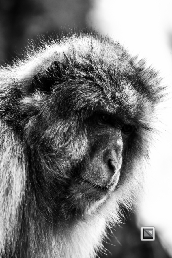 japan-jigokudani-snow_monkeys-78