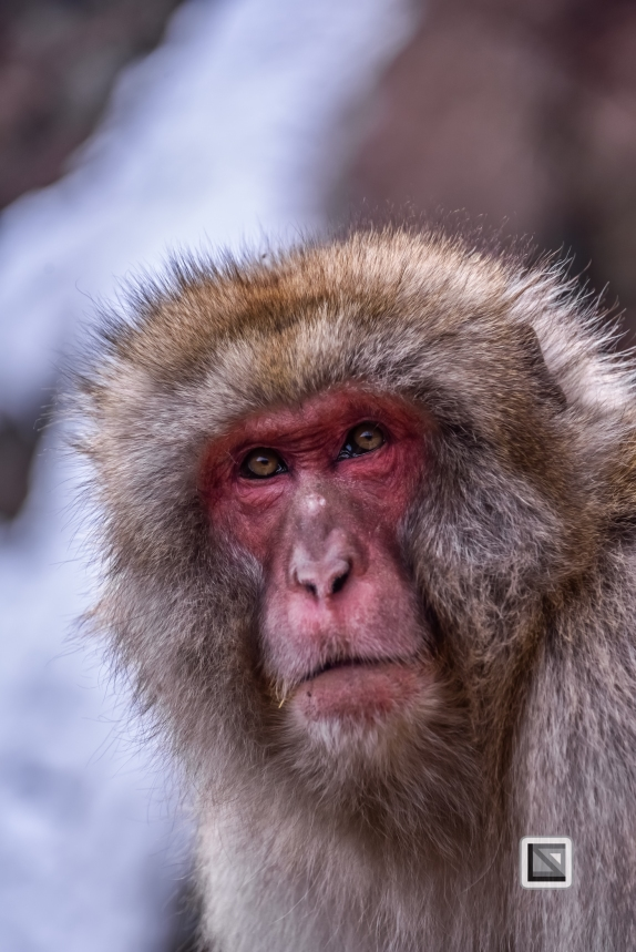 japan-jigokudani-snow_monkeys-79