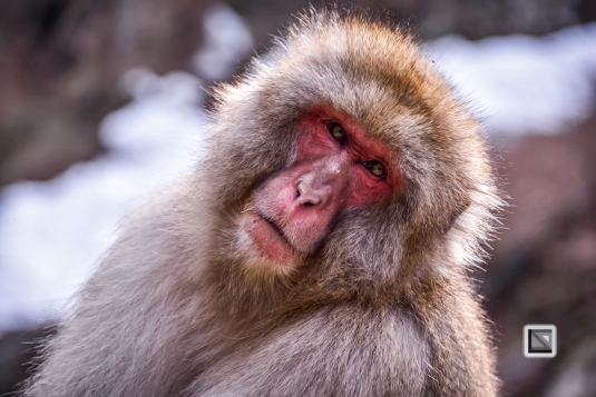japan-jigokudani-snow_monkeys-81