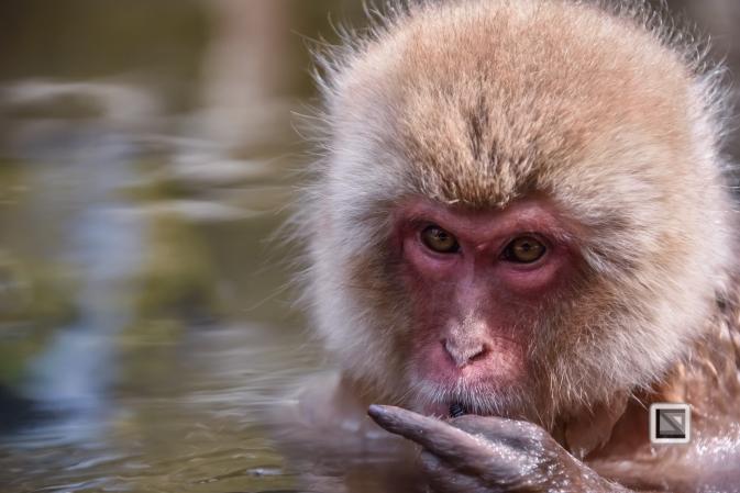 japan-jigokudani-snow_monkeys-82