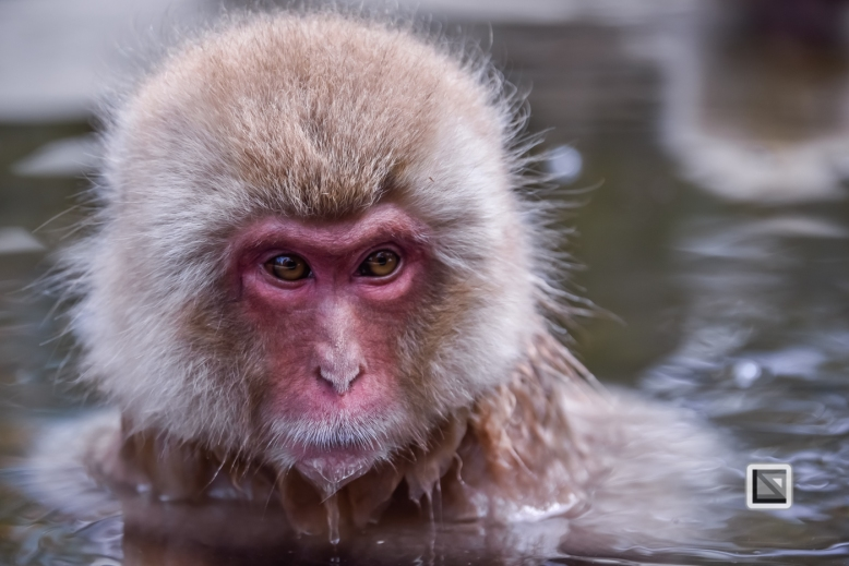 japan-jigokudani-snow_monkeys-83