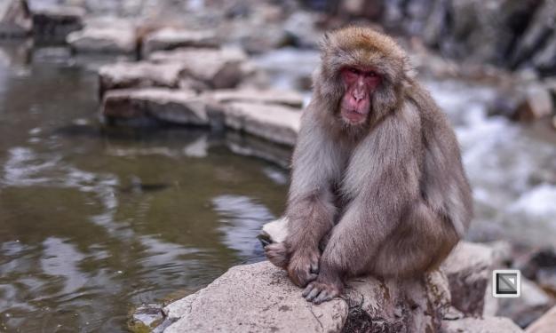 japan-jigokudani-snow_monkeys-87