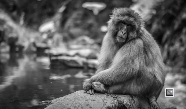 japan-jigokudani-snow_monkeys-89