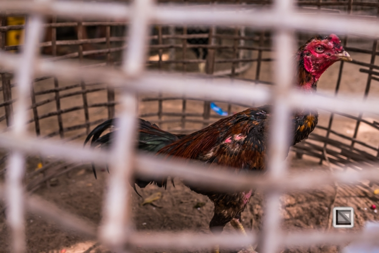 lao-4000-islands-don-dhet-chicken-fight-16