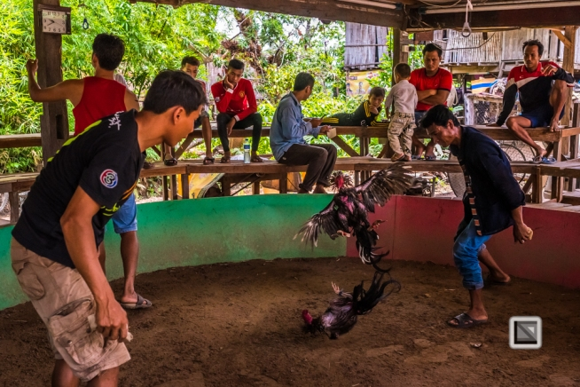 lao-4000-islands-don-dhet-chicken-fight-17