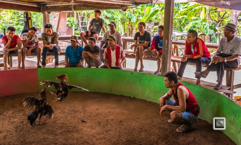 lao-4000-islands-don-dhet-chicken-fight-4