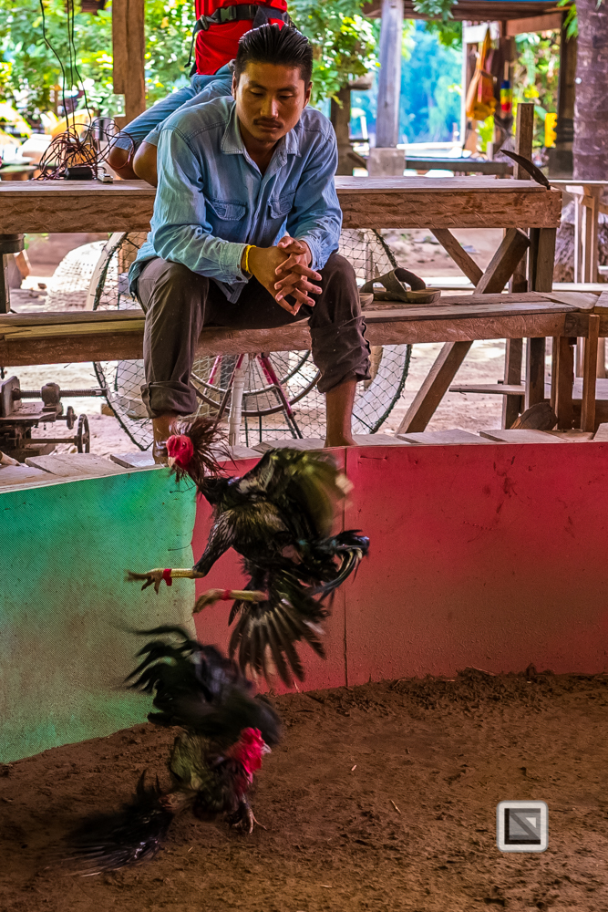 lao-4000-islands-don-dhet-chicken-fight