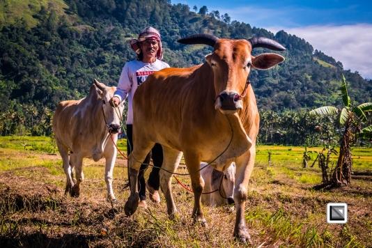 Indonesia-Sumatra-Pacu_Jawi-12