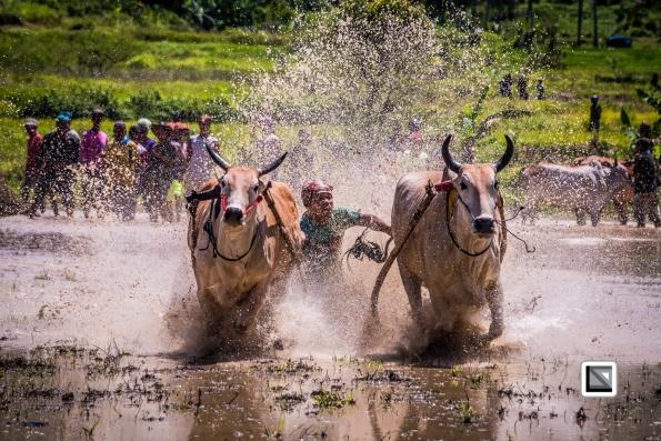 Indonesia-Sumatra-Pacu_Jawi-122