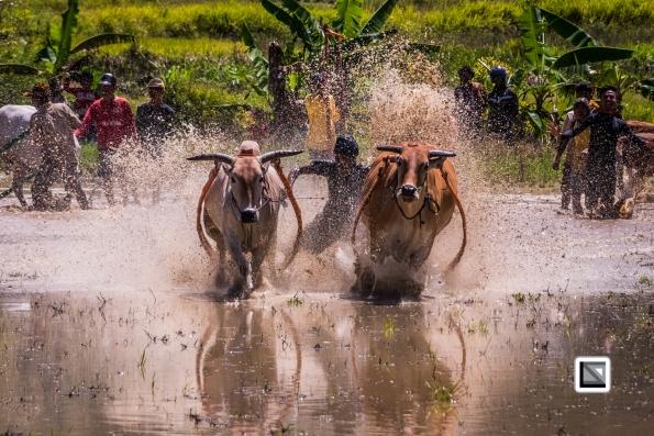 Indonesia-Sumatra-Pacu_Jawi-137
