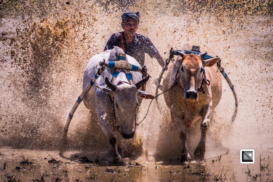 Indonesia-Sumatra-Pacu_Jawi-163