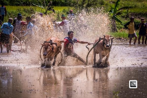 Indonesia-Sumatra-Pacu_Jawi-170