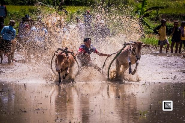 Indonesia-Sumatra-Pacu_Jawi-171