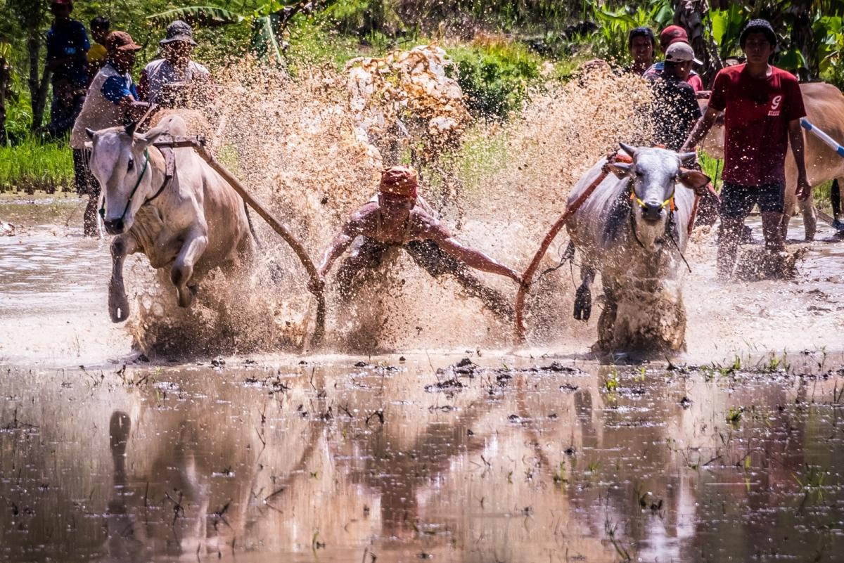 Pacu Jawi - Bull Race in Padang Luar