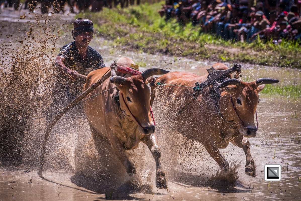 Indonesia-Sumatra-Pacu_Jawi-234