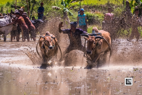 Indonesia-Sumatra-Pacu_Jawi-242