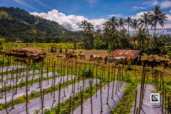 Indonesia-Sumatra-Pacu_Jawi-3