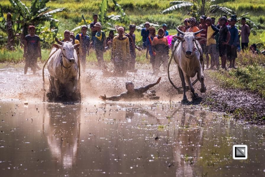 Indonesia-Sumatra-Pacu_Jawi-435
