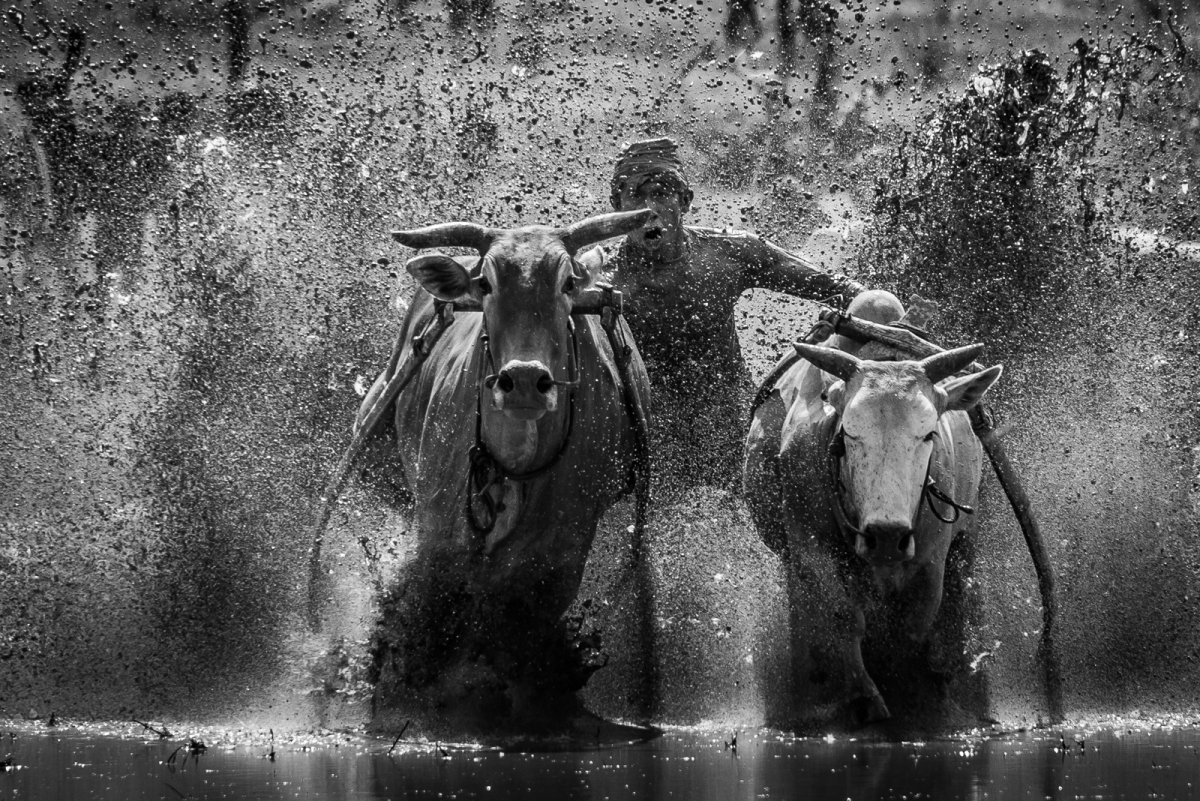 Pacu Jawi - Bull Race - Black n White