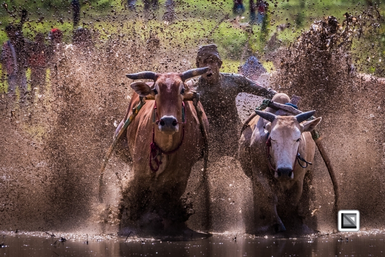 Indonesia-Sumatra-Pacu_Jawi-487