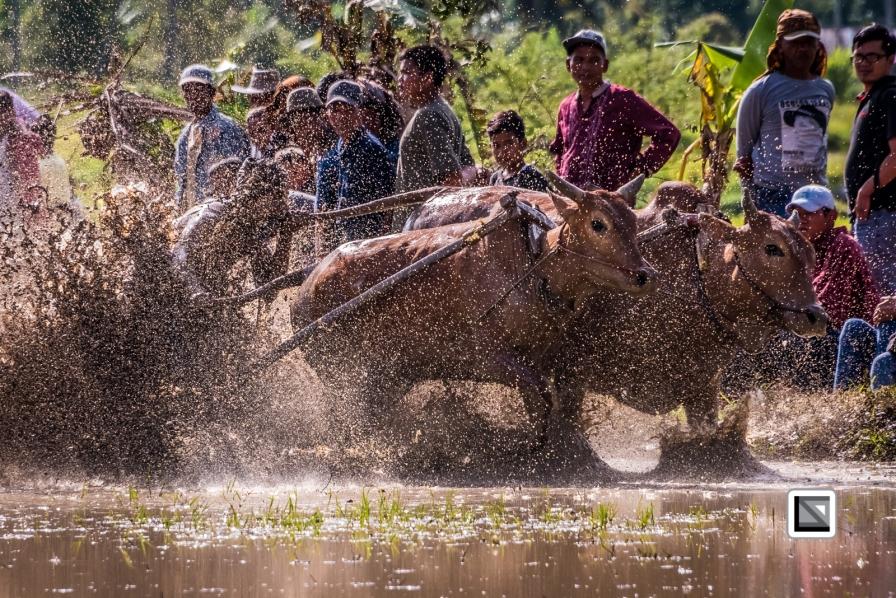 Indonesia-Sumatra-Pacu_Jawi-502-4