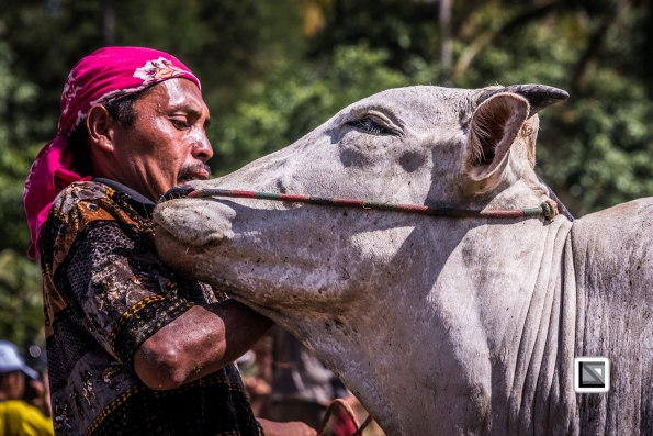 Indonesia-Sumatra-Pacu_Jawi-98