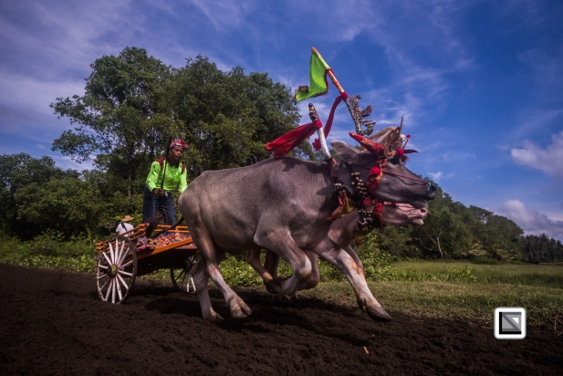 Indonesia-Bali-Makepung_Jembrana_Cup-Tuwed_Village_Circuit-102
