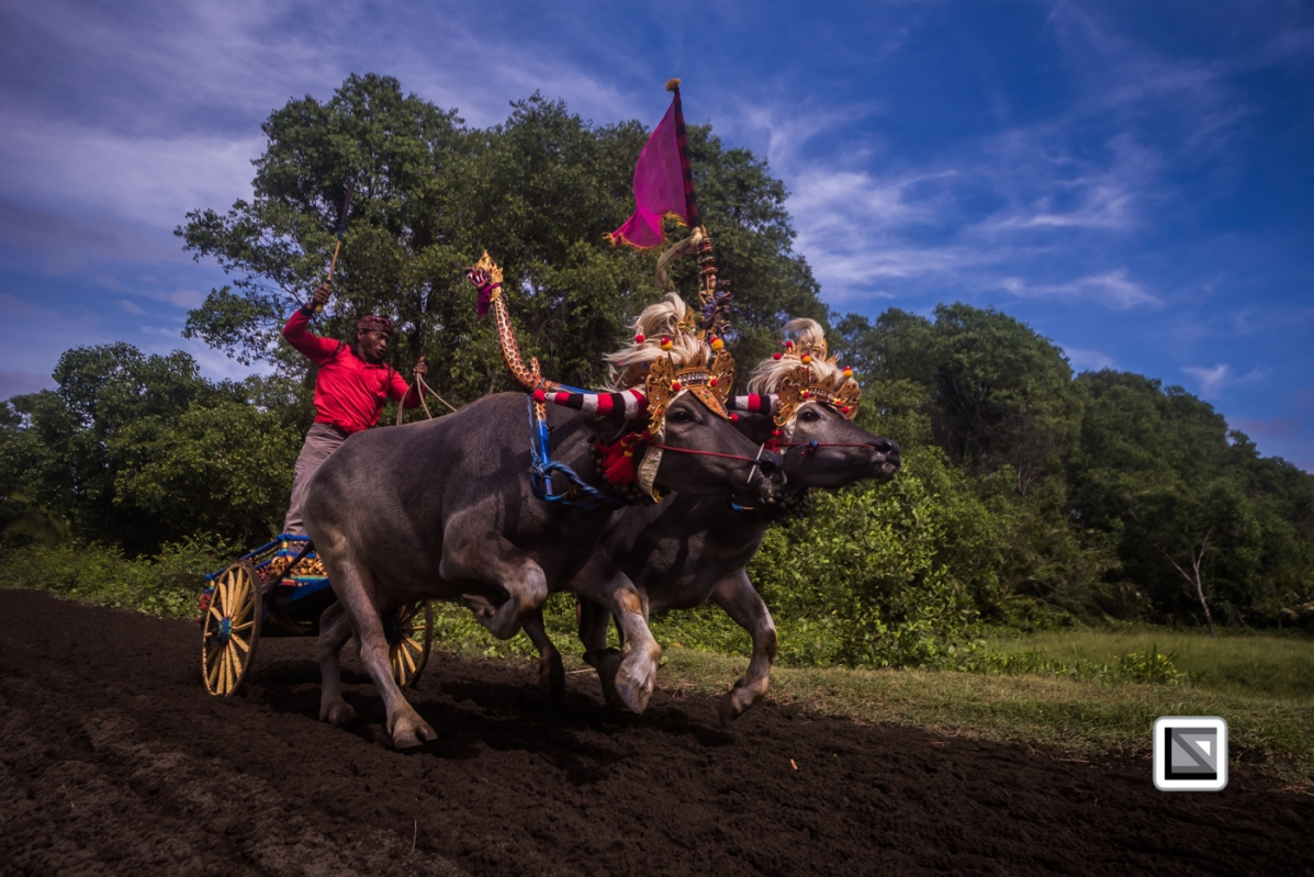 Indonesia-Bali-Makepung_Jembrana_Cup-Tuwed_Village_Circuit-104
