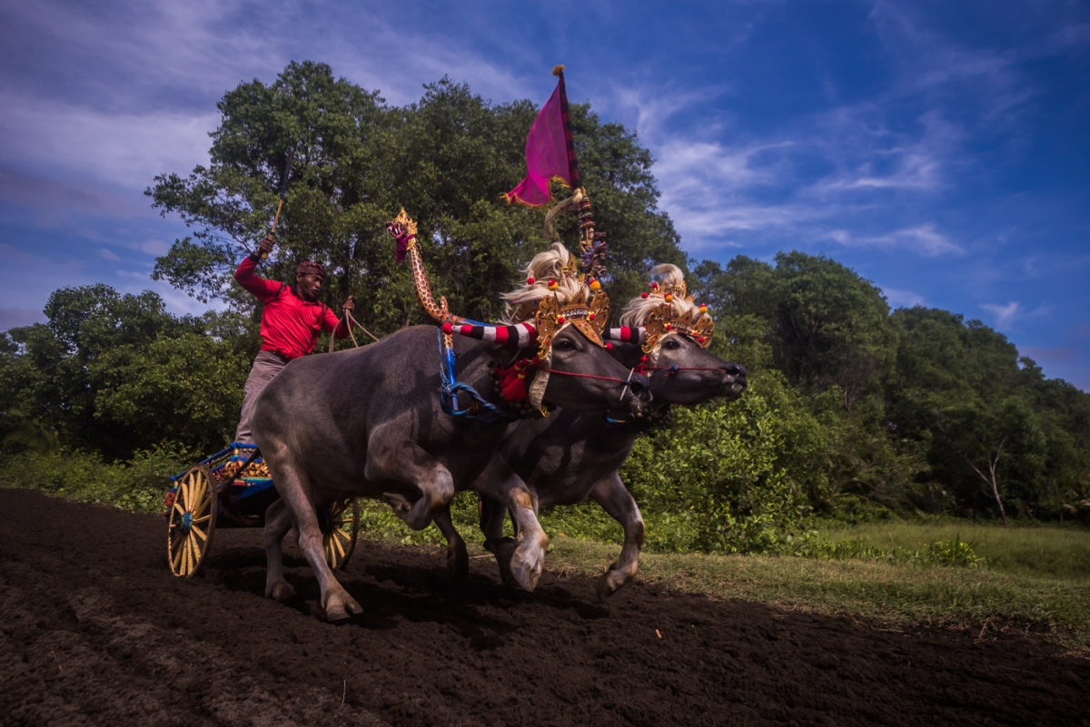 Makepung - Traditional Bull Race in Bali