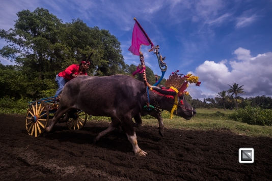 Indonesia-Bali-Makepung_Jembrana_Cup-Tuwed_Village_Circuit-109