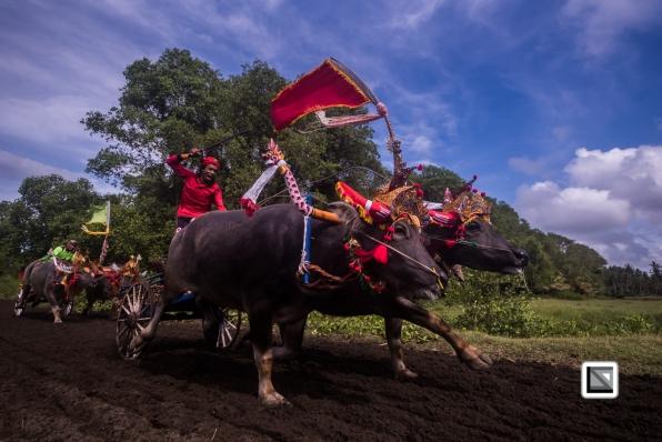 Indonesia-Bali-Makepung_Jembrana_Cup-Tuwed_Village_Circuit-112