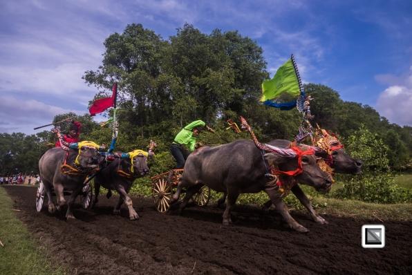 Indonesia-Bali-Makepung_Jembrana_Cup-Tuwed_Village_Circuit-115