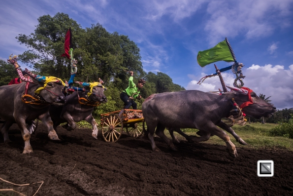 Indonesia-Bali-Makepung_Jembrana_Cup-Tuwed_Village_Circuit-116