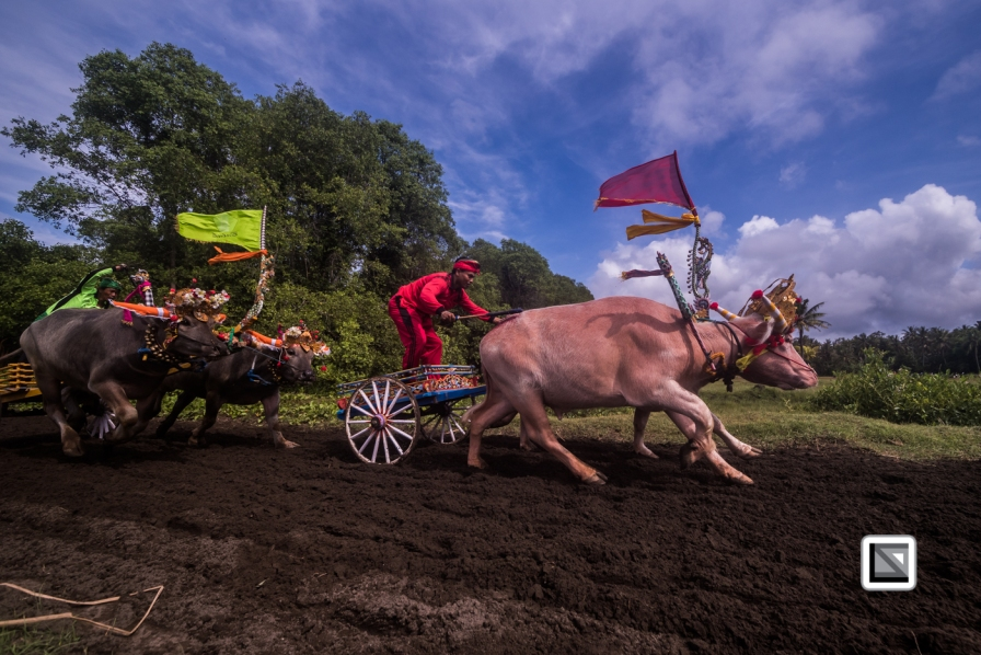 Indonesia-Bali-Makepung_Jembrana_Cup-Tuwed_Village_Circuit-120
