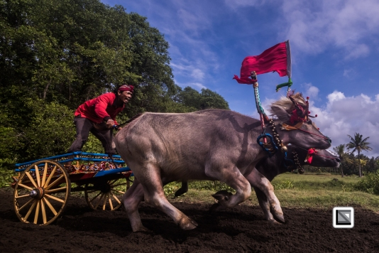Indonesia-Bali-Makepung_Jembrana_Cup-Tuwed_Village_Circuit-123-2